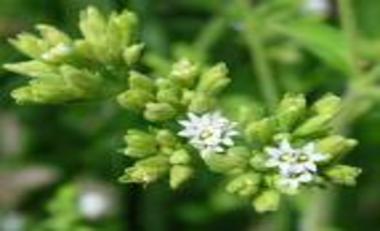 Stevia flowers_380x231