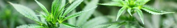 cannabis600